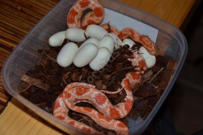 snake_eggs.jpg