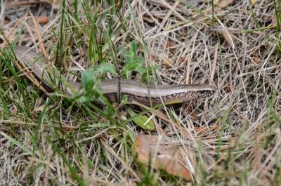snake_gluodena.jpg