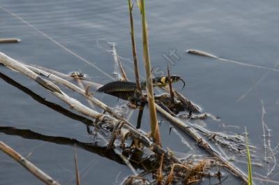 snake_in_water.jpg
