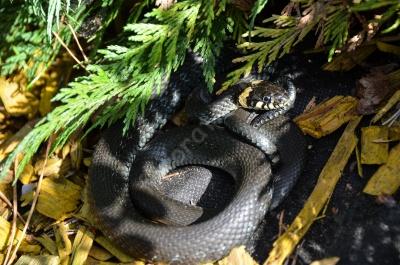 snake_zaltys.jpg